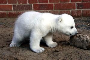 Cute Knut (Berlín)