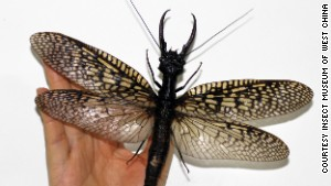 World's largest aquatic insect