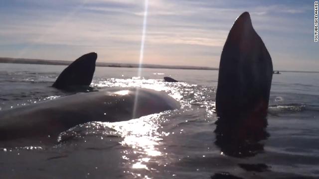 Video viral del día: una ballena levanta un kayak en Puerto Madryn, Argentina