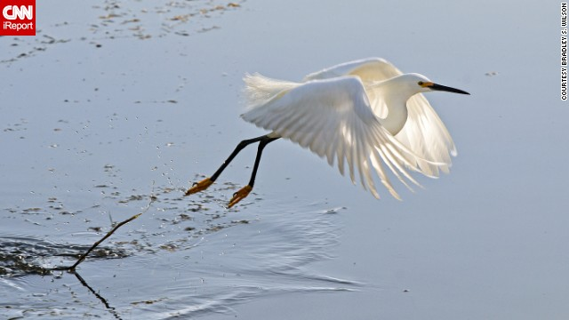 "<a href='http://ireport.cnn.com/docs/DOC-1155194'>Bradley S. Wilson</a> was walking with his camera in St. Louis, Missouri's Forest Park one spring morning when he spotted this snowy egret, one of North America's most familiar herons. ""The major difficulty here was timing. If I missed the moment, I would end up with tail feathers and a splash."""