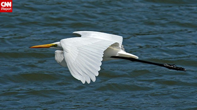 "The grace of this great egret caught <a href='http://ireport.cnn.com/docs/DOC-1155903 '>Donald Barrick</a>'s eye while he was visiting the Merritt Island National Wildlife Refuge in Titusville, Florida. Birds, he said, ""are dainty, yet sometimes aggressive; graceful, but frequently clumsy -- much like us!"""