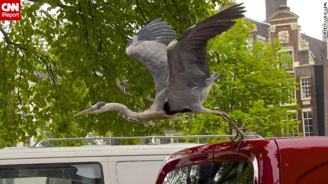 "A grey heron hitches a ride in Amsterdam, Netherlands. The large birds are ever-present in the city, having become so accustomed to humans ""that they will walk right up to you on the street and steal whatever food you might be carrying in your hands,"" said <a href='http://ireport.cnn.com/docs/DOC-1156841 '>Lulis Leal</a>."