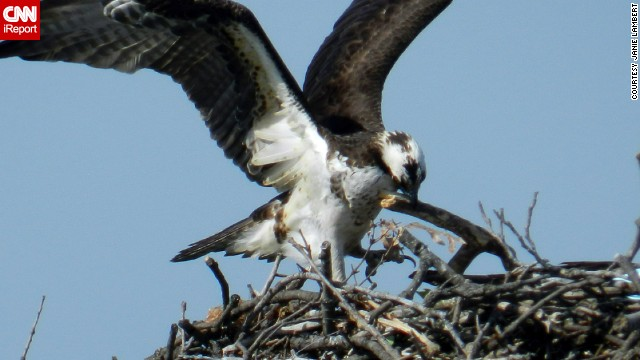 "A spring trip to the Chesapeake Bay to watch the osprey migration ""is something to see,"" said <a href='http://ireport.cnn.com/docs/DOC-1154640'>Janie Lambert</a>, who shot this photo in Maryland's North Beach. ""It is very sweet to watch. Daddy even straightens up the nest while Mom feeds the little ones."""