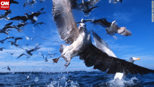 Photographer <a href='http://ireport.cnn.com/docs/DOC-1155849'>Ken Howard</a> was in the South African fishing town of Gansbaai to photograph sharks when he captured this image of kelp gulls, common coastal residents in the Southern Hemisphere.