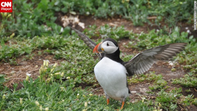 An <a href='http://ireport.cnn.com/docs/DOC-1156267 '>Atlantic puffin</a> stretches its wings after coming out of its burrow on the Inner Farne island off England's Northumberland coast during breeding season. The small birds spend most of their lives at sea.