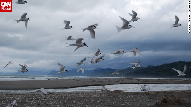 A <a href='http://ireport.cnn.com/docs/DOC-1155195 '>flock of white-fronted terns</a> come in for a landing on a stormy afternoon in Opotiki, New Zealand.