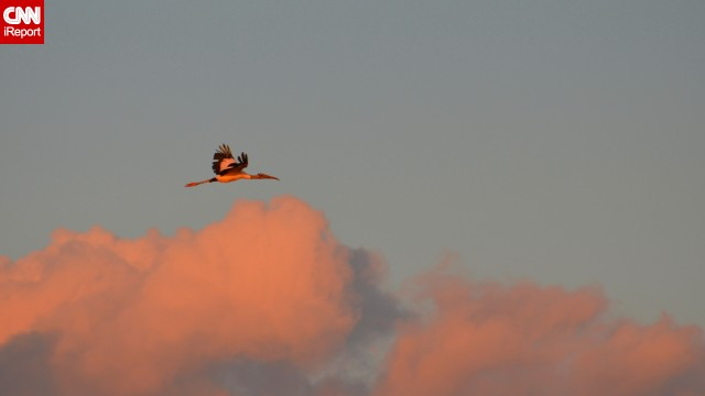 "A wood stork flies home to roost on Pawleys Island, South Carolina. The bird is <a href='http://ecos.fws.gov/speciesProfile/profile/speciesProfile.action?spcode=B06O' target='_blank'>threatened </a>in the U.S. ""You can't help but marvel at their size and the stark black feathers that create a distinct outline on their wings,"" photographer <a href='http://ireport.cnn.com/docs/DOC-1154888'>Penelope Penn said</a>."