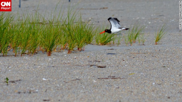 Cape May, New Jersey, has long been a mecca for birds and their admirers. <a href='http://ireport.cnn.com/docs/DOC-1156722 '>David Colbeth</a> shot this photo of an American oystercatcher while on a stroll through the Cape May National Wildlife Refuge.