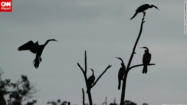 <a href='http://ireport.cnn.com/docs/DOC-1154886 '>Oriental darters</a>, sometimes called snakebirds, gather in the evening light at India's Mandagadde Bird Sanctuary. Sujay Govindaraj took this photo during 2014's monsoon season.