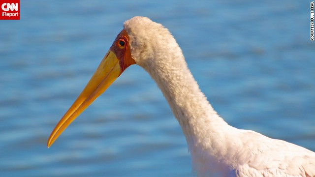 The yellow-billed stork is most distinguishable by its long neck, black tail and of course its yellow beak, which becomes a more vivid color during the breeding season. <a href='http://ireport.cnn.com/docs/DOC-1153913'>Lulis Leal</a> photographed this one at South Africa's Kruger National Park.