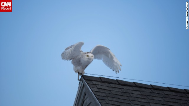 <a href='http://ireport.cnn.com/docs/DOC-1155179'>Marc Grover</a> was out looking for snowy owls at Biddeford Pool, Maine, when he spotted this one perched on a roof.