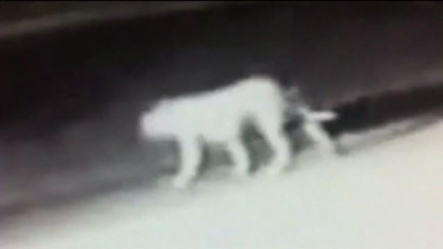 ¿Qué 'bestia' misteriosa pasea por las noches en las calles de Los Ángeles?