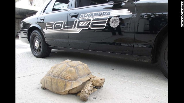 Clark, a 150-pound tortoise, was spotted wandering the streets of Alhambra, California. Police say it took two officers to corral the tortoise.