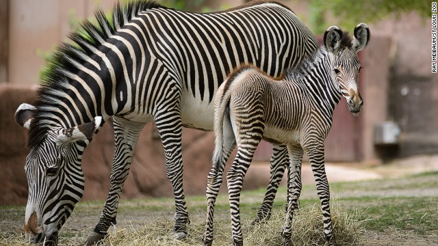 Zebras, giraffes and tigers are featured at the St. Louis Zoo -- #4 on the TripAdvisor list of top world zoos -- which says it receives 3 million visitors annually.