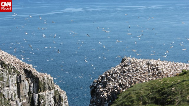 "Cape St. Mary's Ecological Reserve in Newfoundland is a wonderful spot to watch the northern gannets return each summer to dive for fish and raise their young, said <a href='http://ireport.cnn.com/docs/DOC-1153967'>Sobhana Venkatesan</a>. ""We witness the flurry of activity in slow motion. It's a wondrous sight."""