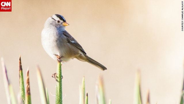 The white-crowned sparrow is a common sight in the American West. <a href='http://ireport.cnn.com/docs/DOC-1155720 '>Charlie Alolkoy</a> spotted this one on an early morning walk in his northwest Tucson, Arizona, neighborhood. Click on the double arrows to see more bird photos.