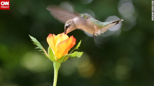 "<a href='http://ireport.cnn.com/docs/DOC-1156169'>David Pass</a> put a few drops of home-brewed nectar in a flower pot to entice the ruby-throated hummingbirds to his deck in Kennesaw, Georgia. Then he sat there for hours a day until the tiny birds got used to him, ""each day inching my chair closer to the rose until I got this shot."""