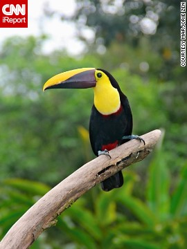 Black-mandibled toucans were frequent visitors during breakfast at the Lost Iguana resort in Costa Rica when <a href='http://ireport.cnn.com/docs/DOC-1157981'>Marjorie Zen</a> visited in 2012.