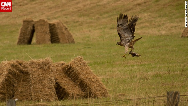 "A red-tailed hawk hunts rodents in a freshly cut hay field on Whidbey Island in Washington. ""Birds are the perfect photographic subjects,"" said <a href='http://ireport.cnn.com/docs/DOC-1155218'>Doug Whidby</a>. ""Their ability to fly is always a point of curiosity, and the details in their markings are stunning if you can capture them."""