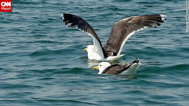 A <a href='http://ireport.cnn.com/docs/DOC-1155354 '>great black-backed gull </a>joins his buddy in New York's Long Island Sound to go for a swim, or maybe, to fish.