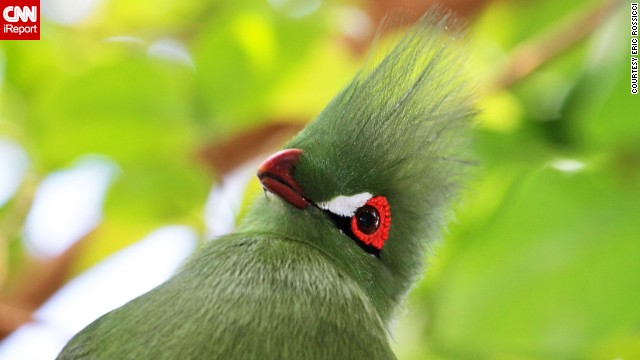 "The birds of the Bloedel Conservatory in Vancouver, British Columbia, include the Guinea turaco, ""a secretive and gorgeous"" creature that <a href='http://ireport.cnn.com/docs/DOC-964399'>Eric Rossicci</a> felt lucky to photograph."