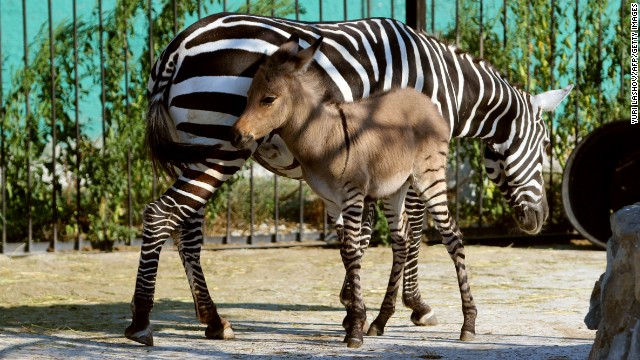 New baby zonkey Telegraph hangs out with his zebra mom at the Taigan zoo park in southern Crimea. Strange. No sign of his deadbeat donkey dad. What an ass.