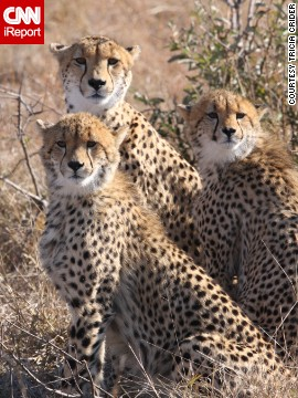 "This trio of cheetahs is practically posing for the camera in South Africa's <a href='http://ireport.cnn.com/docs/DOC-1111906'>Kruger National Park</a>. ""Something in the distance sparked their interest and they all sat up at the same time, allowing me to get this shot,"" said Tricia Crider. ""A safari experience in this exquisite country should be on everyone's bucket list."""
