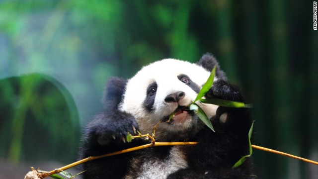 Six month old giant panda cub Long Long eats bamboo in Chimelong Safari Park in Guangzhou in February 16, 2014.