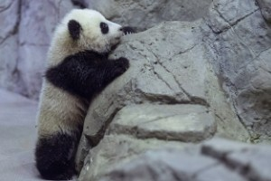 Famosos cachorros de oso panda