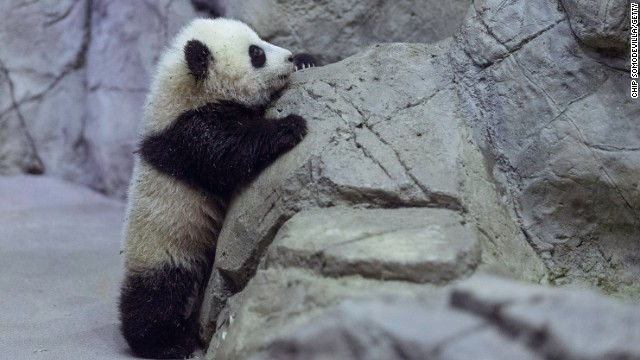 Panda cub Bao Bao plays in the Smithsonian National Zoological Park on January 6, 2014 in Washington, DC.