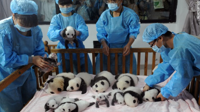 Researchers place new-born panda cubs on a crib on September 23, 2013 at the Chengdu Giant Panda Breeding Center in China's Sichuan province.