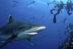 Bucear con tiburones en Fijiji