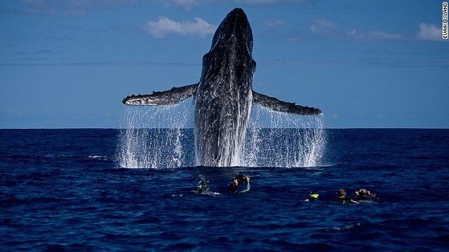 Swimming with the whales in Tonga. Nothing compares with seeing a mother and calf swim by. The sight of humpbacks breaching high out of the water is both terrifying and humbling.