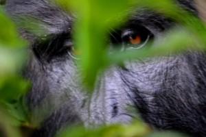 Seguimiento de gorilas (Uganda)