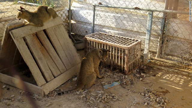 The wild cats at the zoo appear very thirsty and weak. Like many of the other animals, they had not been fed in days.