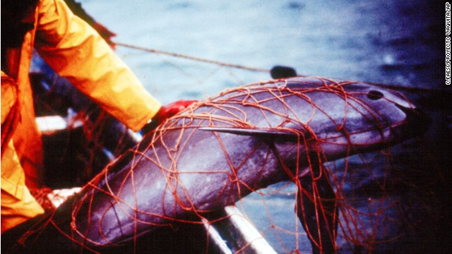 A vaquita trapped in a fishing net at the Gulf of California, Mexico.