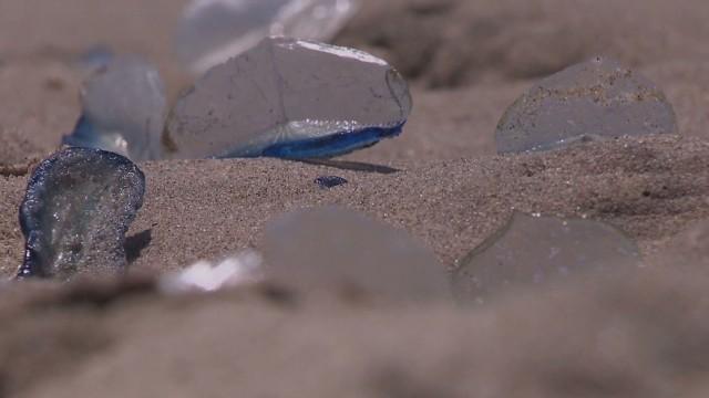 Extrañas criaturas en playas de California