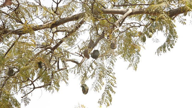 The Jacaranda tree, perched conveniently outside of Fredman's office, is known for its woody seeds that are a huge 5cm in diameter. These pods are frequently used in her designs, adding an earthy feel to her work.