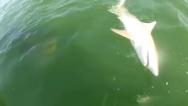 Mero gigante devora de un bocado a un tiburón