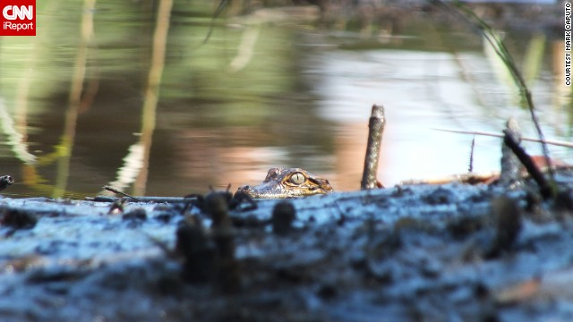 "A baby alligator peers out from the Davis Bayou in Mississippi. ""Taking pictures of wildlife by kayak allows you to approach the shot in ways you just can't when on foot,"" says photographer Mark Caputo."