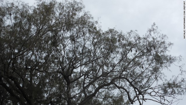 Those aren't leaves overhead. Sleeping bats hang listlessly from a tree in Tongatapu, Tonga.