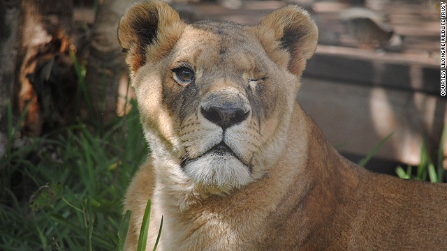 Every animal at the Lilongwe Wildlife Center has a story, and often, not a happy one. There's Bella, the lion rescued from a Romanian zoo. She was kept in a tiny cage and tortured with cigarettes. Bad nutrition caused cataracts, which ultimately blinded her. She is one of the Center's permanent residents.