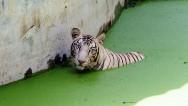 Tigre blanco mata a un visitante en un zoo