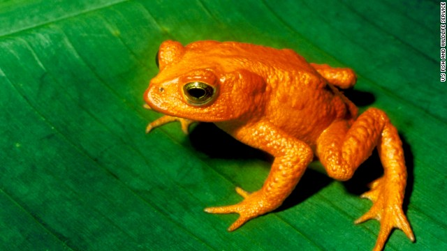<strong>Endangered species: </strong>Polar bears may be the poster child for climate change's effect on animals. But scientists say climate change is wreaking havoc on many other species -- including birds and reptiles -- that are sensitive to fluctuations in temperatures. One, this golden toad of Costa Rica and other Central American countries, has already gone extinct.