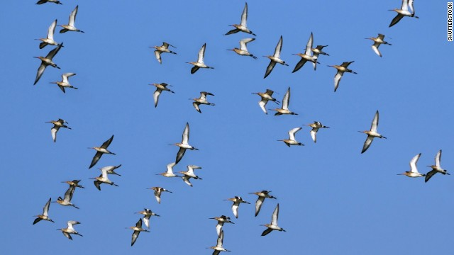 <strong>Animal migration: </strong>It's not your imagination: Some animals -- mostly birds -- are migrating earlier and earlier every year because of warming global temperatures. Scholars from the University of East Anglia found that Icelandic black-tailed godwits have advanced their migration by two weeks over the past two decades. Researchers also have found that many species are migrating to higher elevations as temperatures climb.