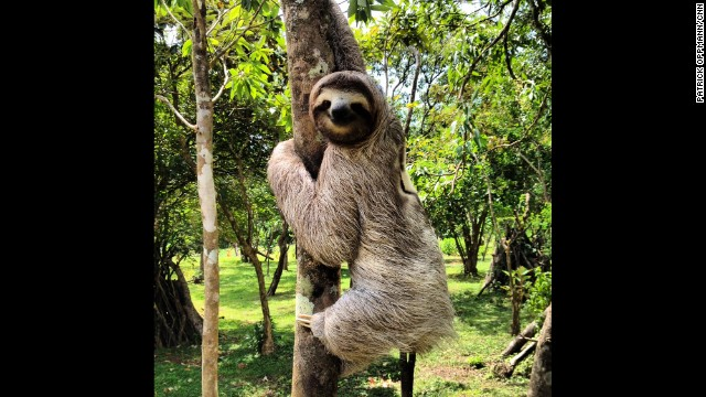 EL VALLE DE ANTON, PANAMA: A three-toed sloth climbs a tree in the highlands of Panama. Sloths are tropical mammals that live in Central and South America. They use their long claws to hang onto branches while they feast on the leaves that other animals can't reach. The three-toed sloth's lethargic life revolves around sleeping and eating, and most energy is expended descending trees to defecate. Photo by CNN's Patrick Oppmann. Follow Patrick (@cubareporter) and other CNNers along on Instagram at instagram.com/cnn.