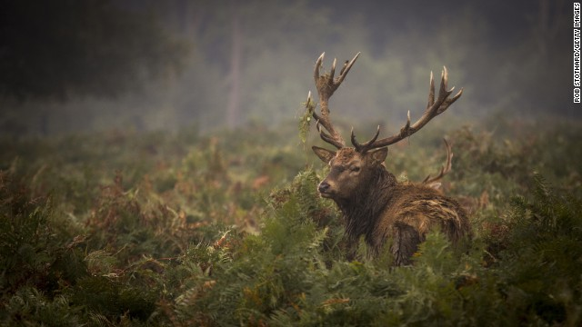 SEPTEMBER 24 - LONDON, ENGLAND: A red deer walks around in the morning light in Richmond Park. Tuesday was the fall equinox, when day and night are of equal lengths, marking the start of a new season.