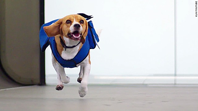 Sherlock on the case: KLM pooch solves mysteries, wins hearts at Amsterdam Airport Schiphol.