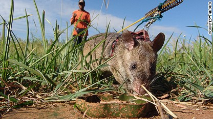 The rats that can smell landmines