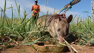 Giant rats sniff out landmines